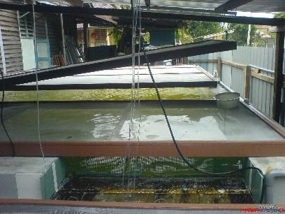 大约经过60天左右完成的,龙鱼家园,21条红尾金龙。我是来自马来西亚,请指教 绵阳龙鱼论坛 绵阳水族批发市场第3张