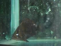 帮看一下这是什么虎? 绵阳龙鱼论坛 绵阳水族批发市场第2张