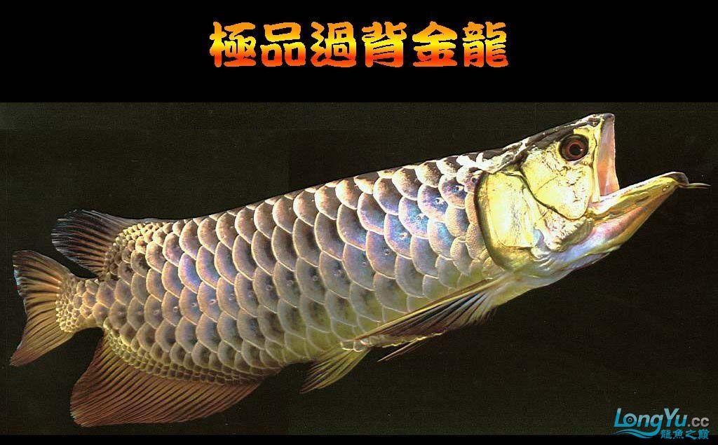 """另你尖叫的龙鱼, 赞图 尽在""""龙鱼之巅 """" 绵阳龙鱼论坛 绵阳水族批发市场第8张"""