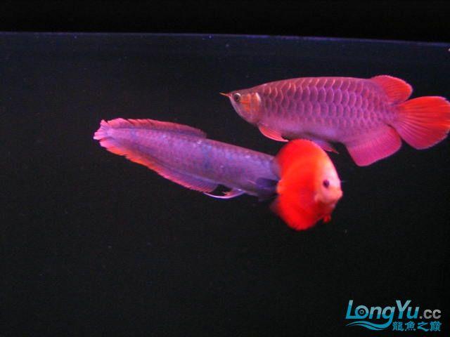 15cm的小红龙养了六个月半了