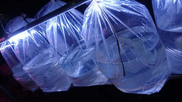 第四图的虎鱼25公分,没拿下可惜了,但是魟鱼经过3次砍价捞回家了[ciya] 绵阳龙鱼论坛 绵阳水族批发市场第2张