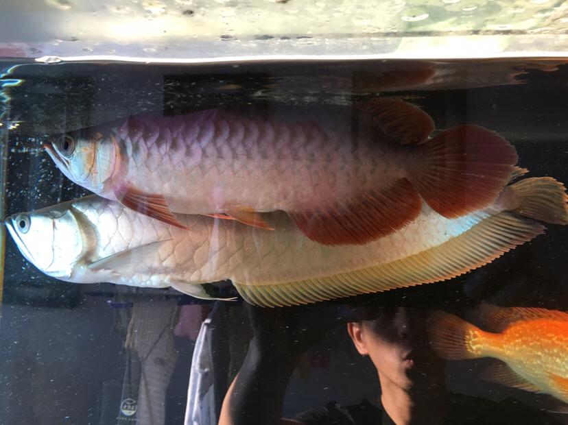 自己喜欢就是最好的鱼. 绵阳龙鱼论坛 绵阳水族批发市场第2张