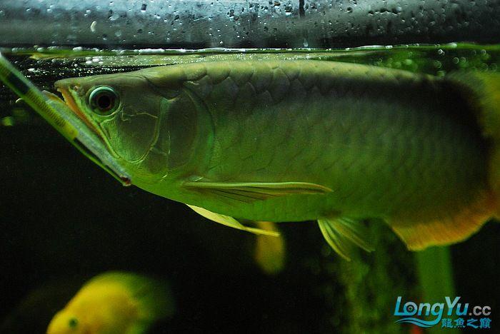 青龙烧尾,下了黑水河黄粉之后............ 绵阳龙鱼论坛 绵阳水族批发市场第7张