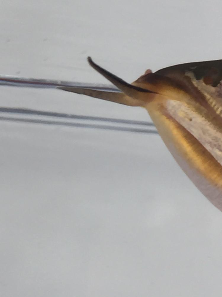 绵阳观赏鱼请教大神,龙嘴尖凸起的一点钉子样的是