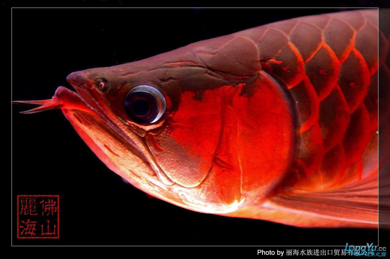 绵阳最大鱼缸征集7月壁纸龙、魟、虎图! 绵阳龙鱼论坛 绵阳水族批发市场第24张