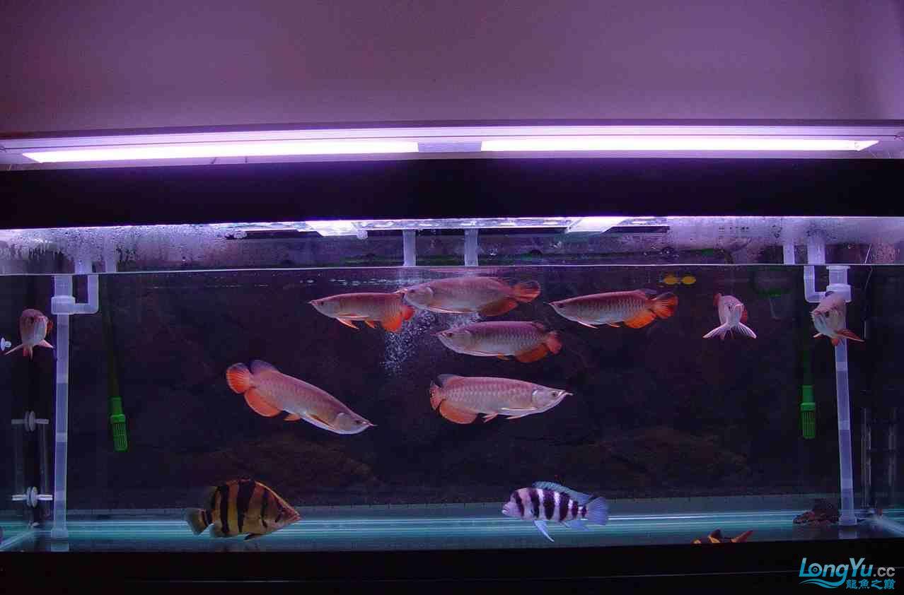绵阳最大鱼缸征集7月壁纸龙、魟、虎图! 绵阳龙鱼论坛 绵阳水族批发市场第28张