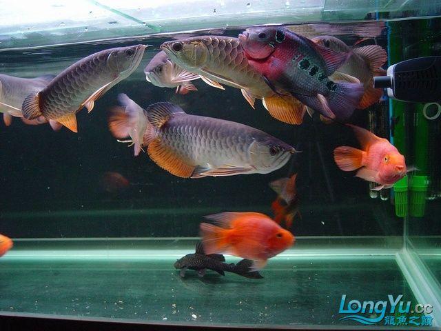 绵阳最大鱼缸征集7月壁纸龙、魟、虎图! 绵阳龙鱼论坛 绵阳水族批发市场第27张