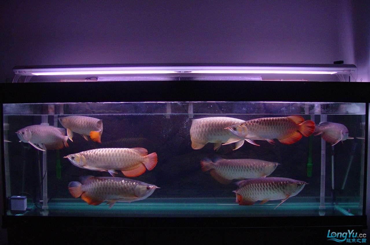 绵阳最大鱼缸征集7月壁纸龙、魟、虎图! 绵阳龙鱼论坛 绵阳水族批发市场第31张