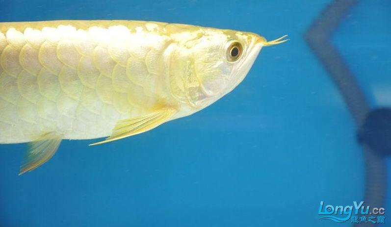 绵阳最大鱼缸征集7月壁纸龙、魟、虎图! 绵阳龙鱼论坛 绵阳水族批发市场第37张