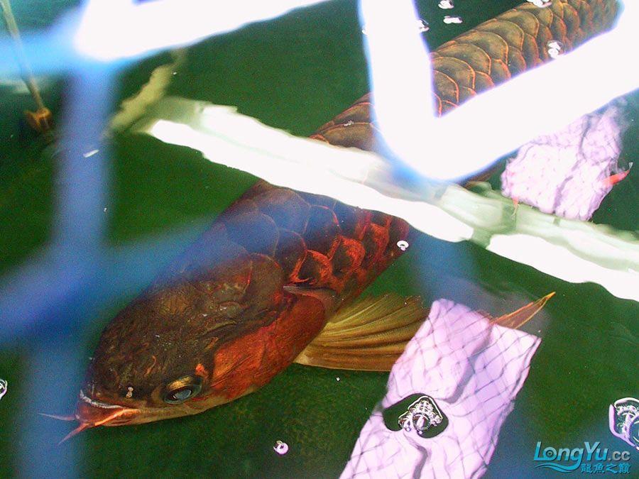 绵阳最大鱼缸征集7月壁纸龙、魟、虎图! 绵阳龙鱼论坛 绵阳水族批发市场第46张