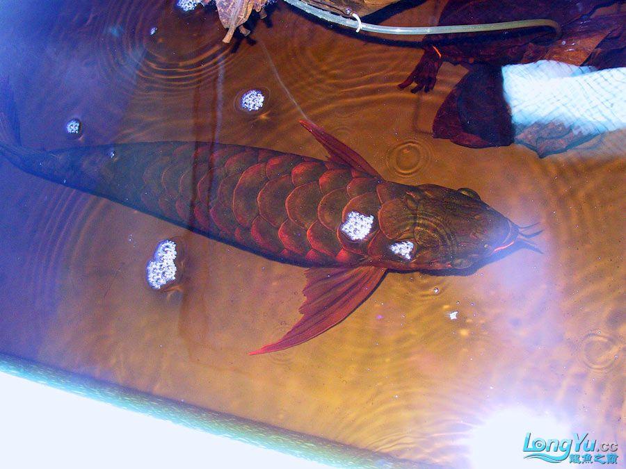绵阳最大鱼缸征集7月壁纸龙、魟、虎图! 绵阳龙鱼论坛 绵阳水族批发市场第48张