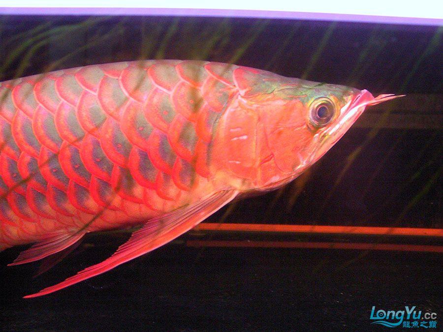 绵阳最大鱼缸征集7月壁纸龙、魟、虎图! 绵阳龙鱼论坛 绵阳水族批发市场第54张