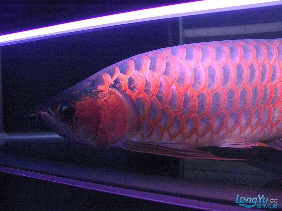绵阳最大鱼缸征集7月壁纸龙、魟、虎图! 绵阳龙鱼论坛 绵阳水族批发市场第55张