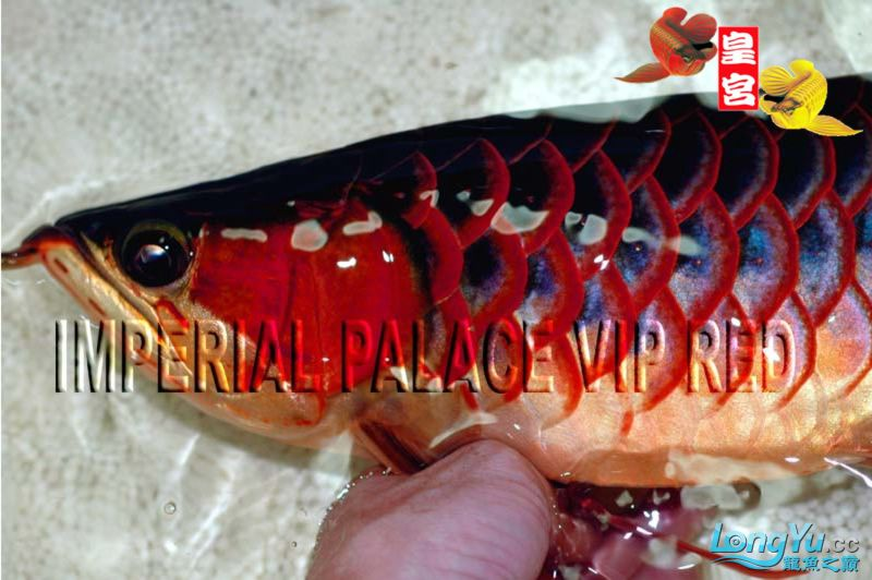绵阳最大鱼缸征集7月壁纸龙、魟、虎图! 绵阳龙鱼论坛 绵阳水族批发市场第57张