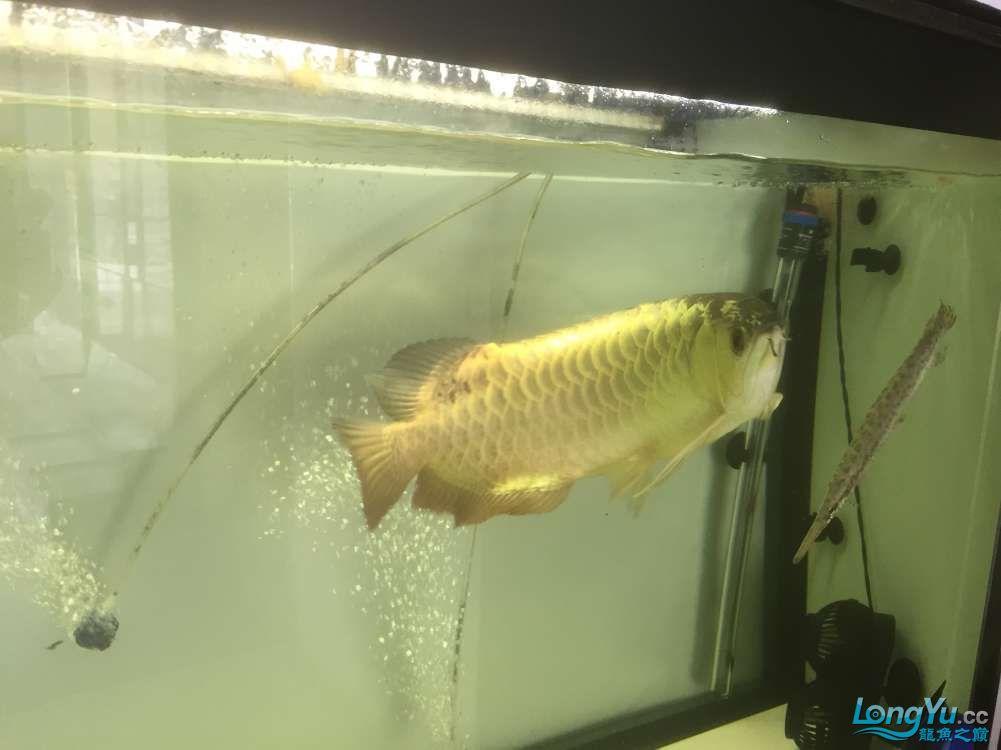 请大神看看这是什么品种,绵阳金龙过背品相如何。40cm 绵阳龙鱼论坛 绵阳水族批发市场第1张