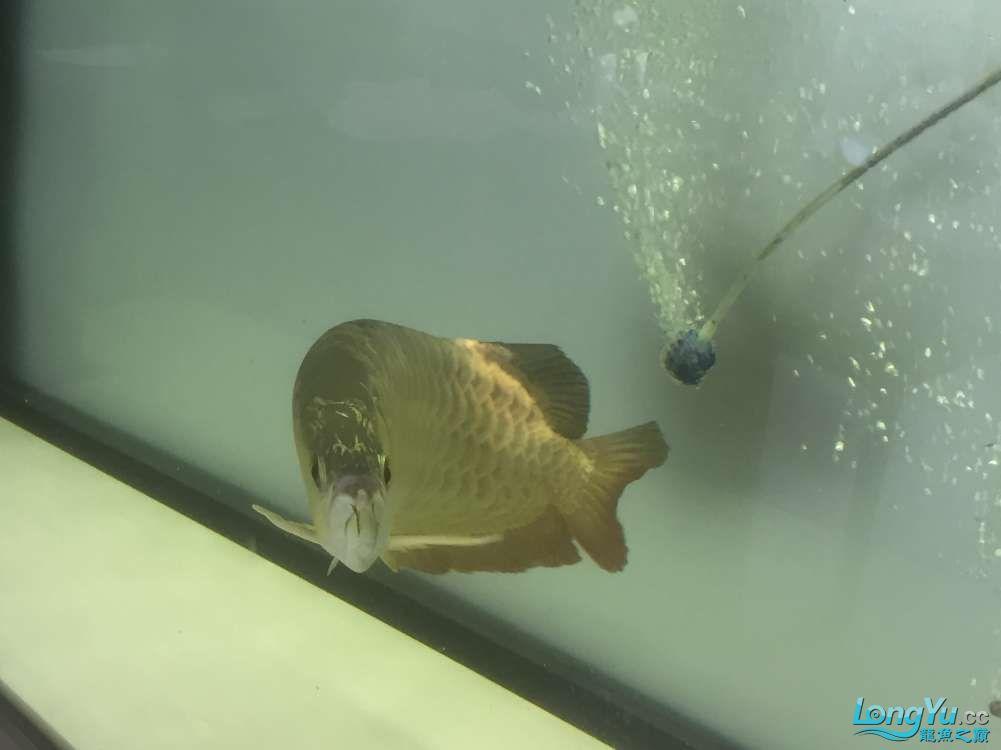 请大神看看这是什么品种,绵阳金龙过背品相如何。40cm 绵阳龙鱼论坛 绵阳水族批发市场第4张