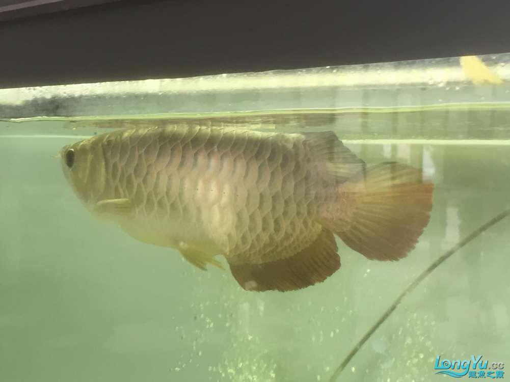 请大神看看这是什么品种,绵阳金龙过背品相如何。40cm 绵阳龙鱼论坛 绵阳水族批发市场第5张