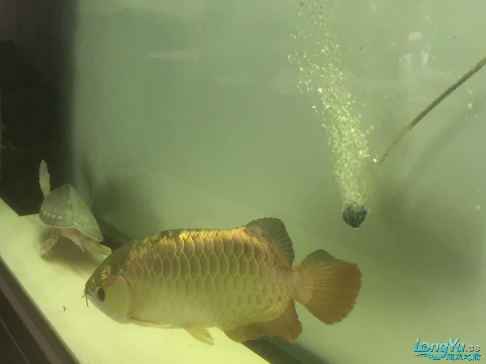请大神看看这是什么品种,绵阳金龙过背品相如何。40cm 绵阳龙鱼论坛 绵阳水族批发市场第8张