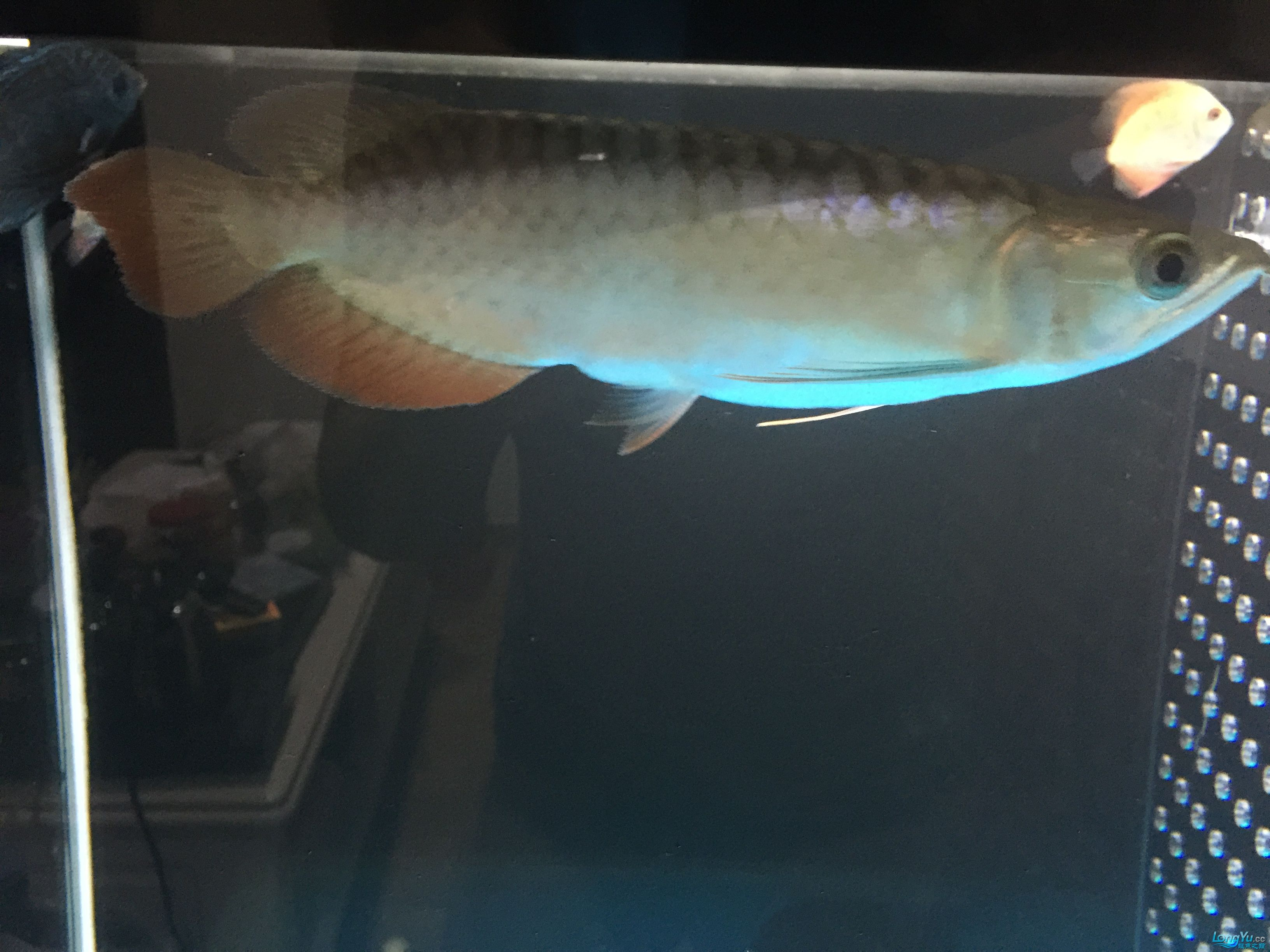 刚买回来的15cm不到辣椒红龙 绵阳龙鱼论坛
