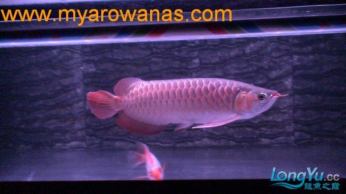 红龙30厘米,请大家帮忙看看这鱼怎绵阳红龙鱼么样,我想买!谢谢了 绵阳龙鱼论坛 绵阳水族批发市场第4张