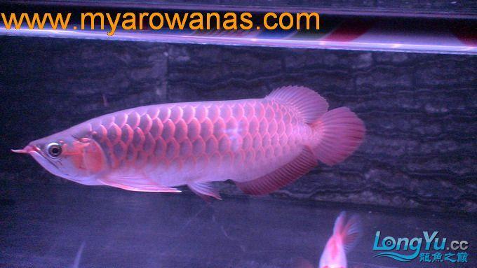 红龙30厘米,请大家帮忙看看这鱼怎绵阳红龙鱼么样,我想买!谢谢了 绵阳龙鱼论坛 绵阳水族批发市场第3张