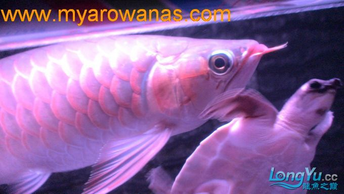 红龙30厘米,请大家帮忙看看这鱼怎绵阳红龙鱼么样,我想买!谢谢了 绵阳龙鱼论坛 绵阳水族批发市场第6张