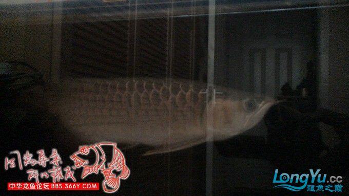 红龙30厘米,请大家帮忙看看这鱼怎绵阳红龙鱼么样,我想买!谢谢了 绵阳龙鱼论坛 绵阳水族批发市场第7张