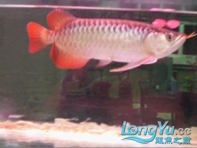 看看我的22CM红龙发色如何 绵阳龙鱼论坛 绵阳水族批发市场第1张