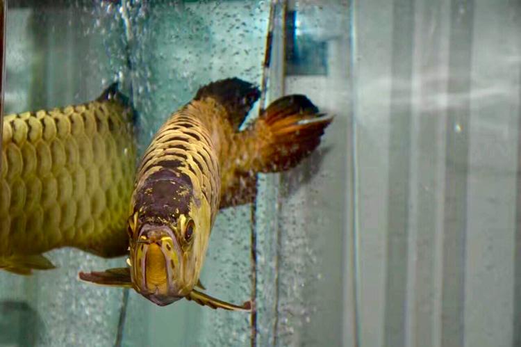 养了三年的效果。 绵阳龙鱼论坛 绵阳水族批发市场第2张