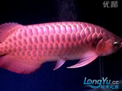 视频《龙鱼 红龙 惊》绵阳观赏鱼 绵阳龙鱼论坛 绵阳水族批发市场第2张