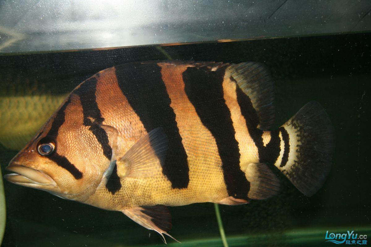 两年绵阳鱼缸的虎