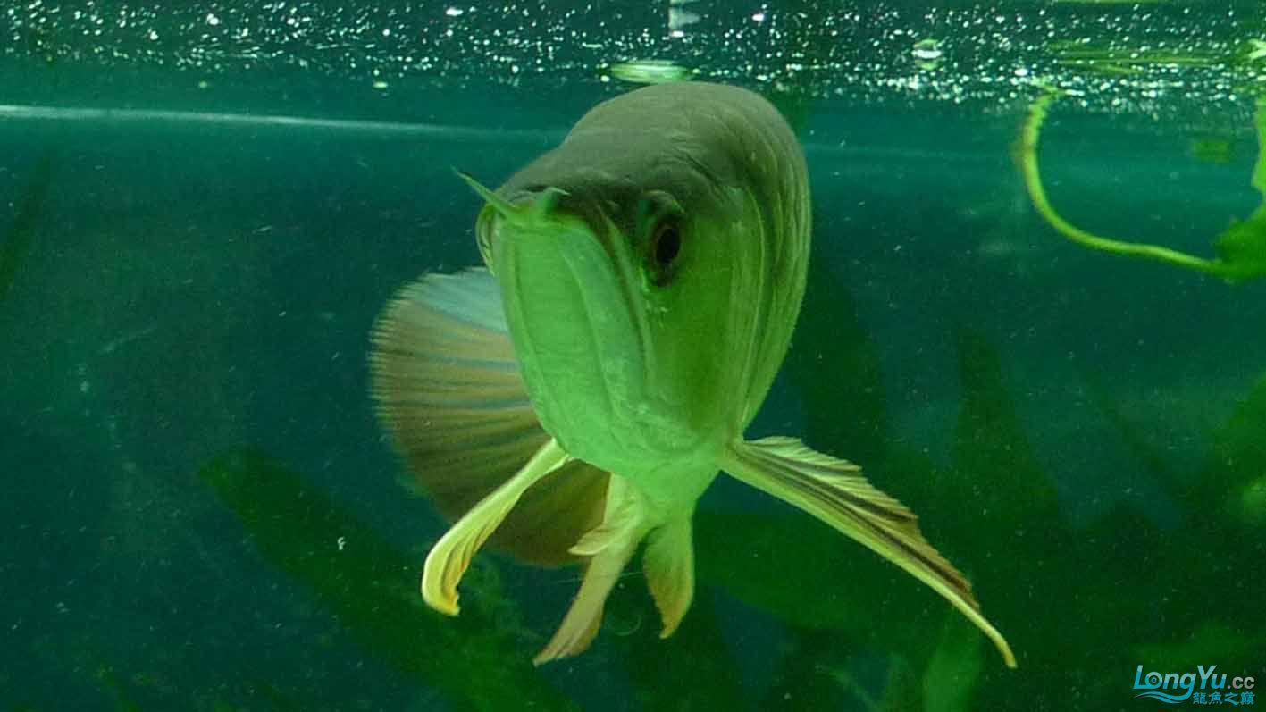 看看我的我的龙凤虎搭配的如何 绵阳龙鱼论坛 绵阳水族批发市场第4张