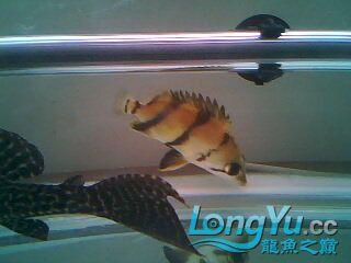看看我的小虎鱼 绵阳龙鱼论坛 绵阳水族批发市场第1张