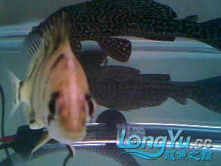 看看我的小虎鱼 绵阳龙鱼论坛 绵阳水族批发市场第2张