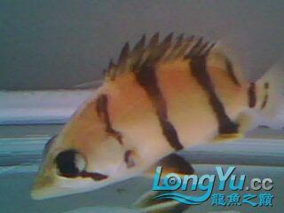 看看我的小虎鱼 绵阳龙鱼论坛 绵阳水族批发市场第5张