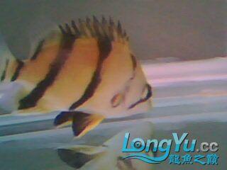 看看我的小虎鱼 绵阳龙鱼论坛 绵阳水族批发市场第6张