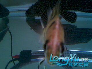 看看我的小虎鱼 绵阳龙鱼论坛 绵阳水族批发市场第3张