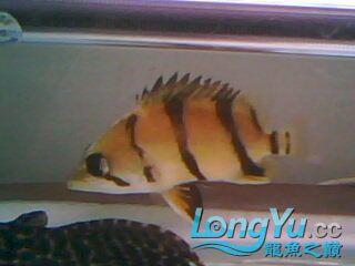 看看我的小虎鱼 绵阳龙鱼论坛 绵阳水族批发市场第7张