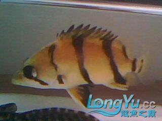 看看我的小虎鱼 绵阳龙鱼论坛 绵阳水族批发市场第9张