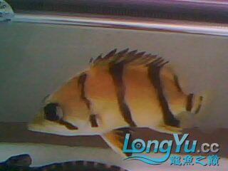 看看我的小虎鱼 绵阳龙鱼论坛 绵阳水族批发市场第8张