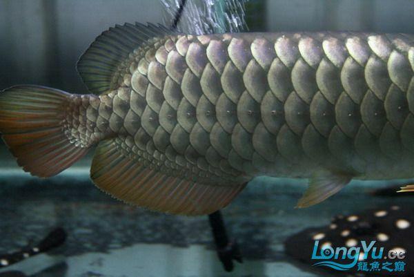 绵阳鱼缸鱼友的过背和红龙 绵阳龙鱼论坛 绵阳水族批发市场第1张