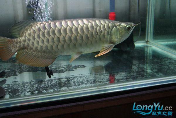 绵阳鱼缸鱼友的过背和红龙 绵阳龙鱼论坛 绵阳水族批发市场第2张