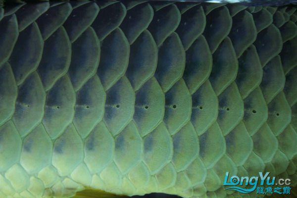 绵阳鱼缸鱼友的过背和红龙 绵阳龙鱼论坛 绵阳水族批发市场第3张