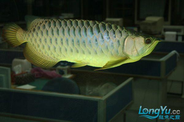 绵阳鱼缸鱼友的过背和红龙 绵阳龙鱼论坛 绵阳水族批发市场第4张