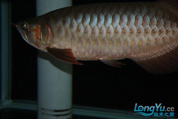绵阳鱼缸鱼友的过背和红龙 绵阳龙鱼论坛 绵阳水族批发市场第5张