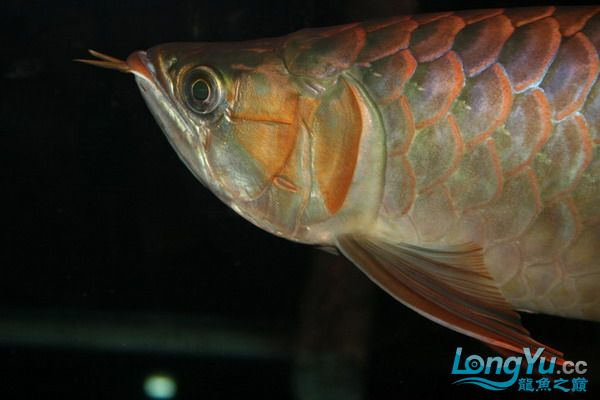 绵阳鱼缸鱼友的过背和红龙 绵阳龙鱼论坛 绵阳水族批发市场第7张