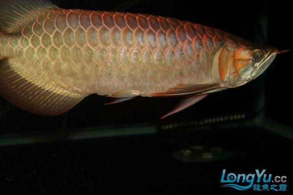 绵阳鱼缸鱼友的过背和红龙 绵阳龙鱼论坛 绵阳水族批发市场第6张