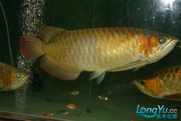 绵阳鱼缸鱼友的过背和红龙 绵阳龙鱼论坛 绵阳水族批发市场第10张