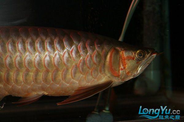 绵阳鱼缸鱼友的过背和红龙 绵阳龙鱼论坛 绵阳水族批发市场第12张