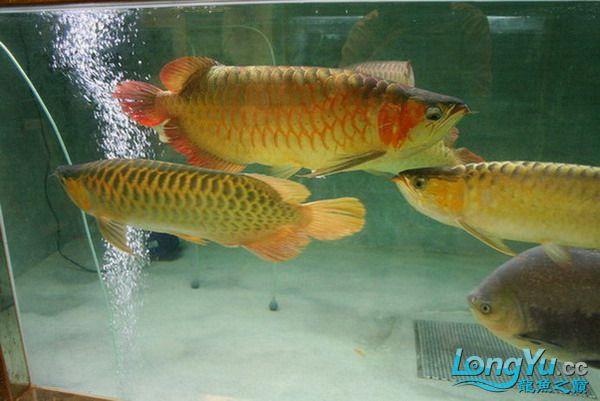 绵阳鱼缸鱼友的过背和红龙 绵阳龙鱼论坛 绵阳水族批发市场第17张
